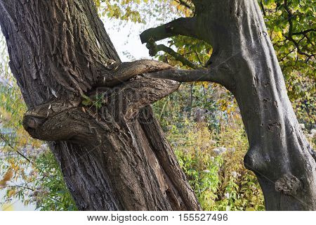 Trees attached to each other in nature