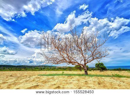 Lonely tree inside uh desert dunes in Phan Thiet, Vietnam