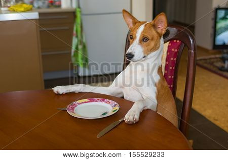 Cute Basenji is waiting for the service by master-waiter.