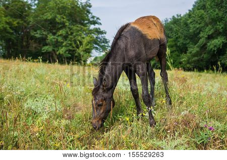 Cute foal is tasting new food on a summer pasture.