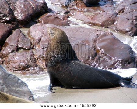 Male Sealion