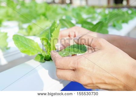 Close up hand holding Hydroponics plant. Hydroponics method of growing plants using mineral nutrient solutions in water without soil.