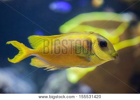 Blue-spotted spinefoot (Siganus corallinus), also known as the coral rabbitfish.