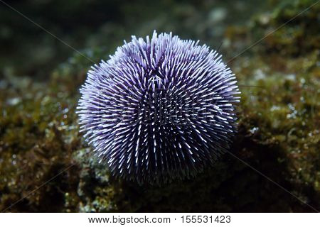 European edible sea urchin (Echinus esculentus), also known as the common sea urchin.