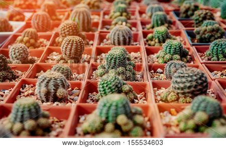 Cactus Flowers in pots colorful flowers pots flowers shop row of Cactus Flowers