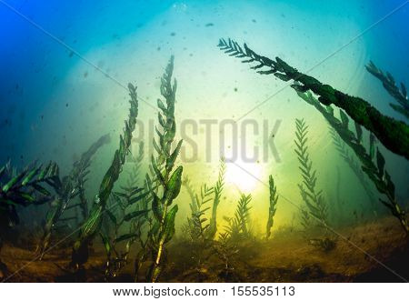 Underwater shot of the weed in the lake at sunny day