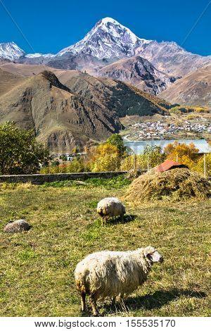 Sheep on the highland pasture at Kazbegi (Stepantsminda) village, Georgia,  Europe.
