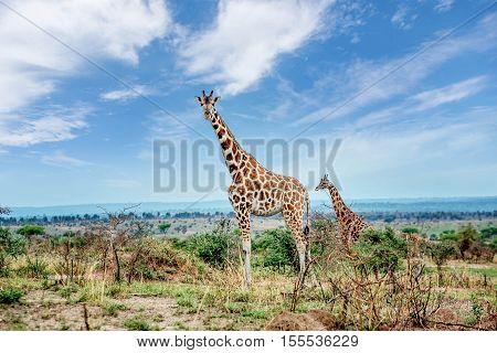 Giraffe in Murchison falls National Park Uganda