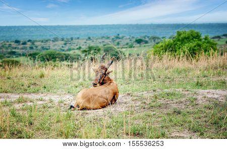 Antelope Hartebeest in Murchison Falls National Park Uganda