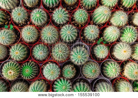 small cactus in a row. Used for background. top view