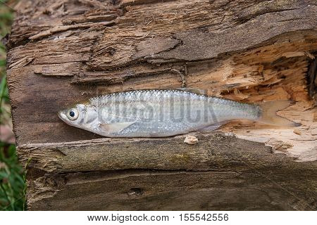 Bleak Fish On The Natural Background.