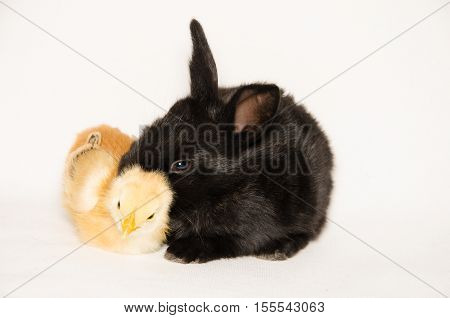 Black baby bunny and chick sleeping together isolated on white background