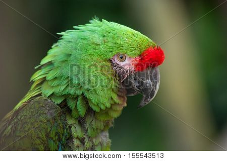 Bolivian military macaw (Ara militaris boliviana). Wildlife animal.