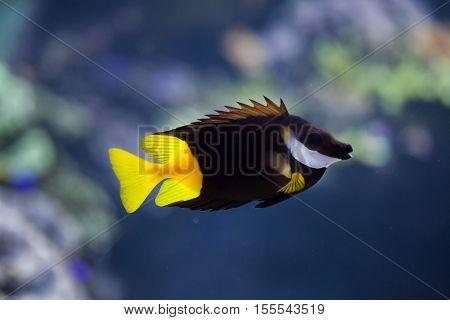 Bicolored foxface (Siganus uspi). Marine fish.