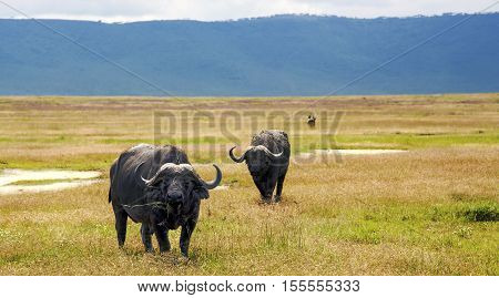 African Buffalo, is a large African mammal, graze on lush meadows in Ngorongoro Conservation Area, Tanzania. East Africa