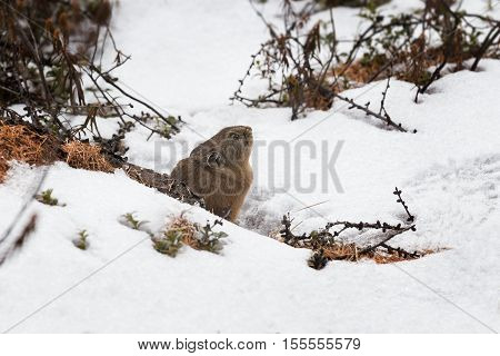 northern pika winter peeks out of the burrow