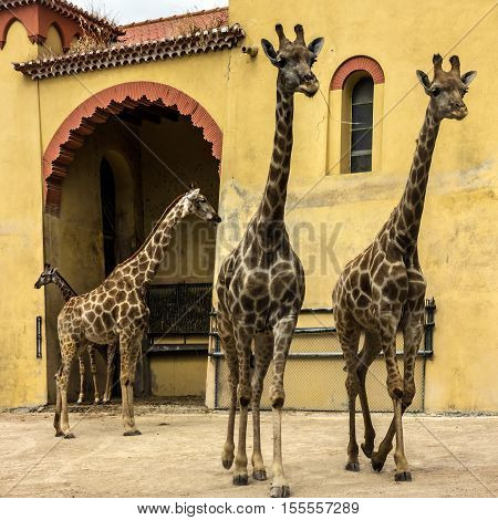Giraffes standing in Lisboa zoological park.Mammal animals
