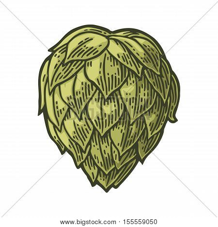 Hop herb plant. Isolated on white background. For labels, packaging and poster with production process brewery of beer. Vector vintage color engraved illustration. Hand drawn design element