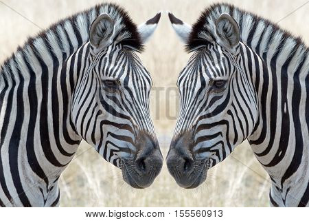 Two zebra (Equus quagga) face each other in Hwange national park