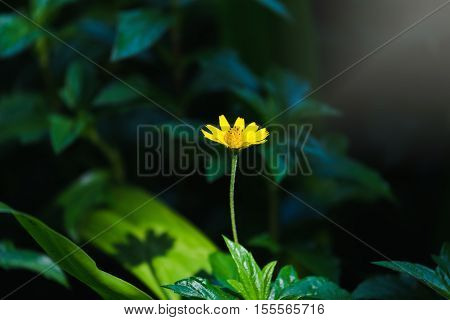 Close focus on singapore daisy or golden daisy flower on low key scene with sunlight showing shadow of daisy on green leaf.
