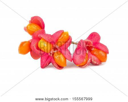 Flowers Euonymus