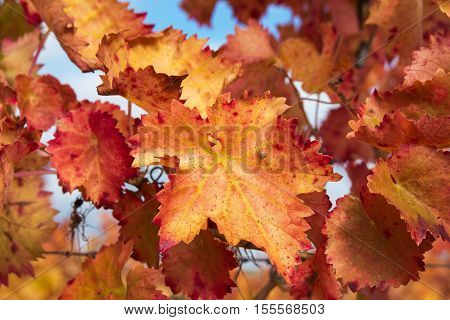 Photo of orange vineyard autumn leaves against the blue sky