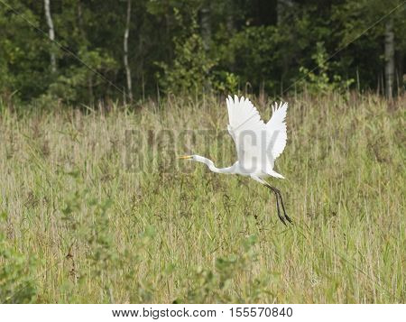Great white heron or Great egret Ardea alba take off close-up portrait with bokeh background selective focus shallow DOF