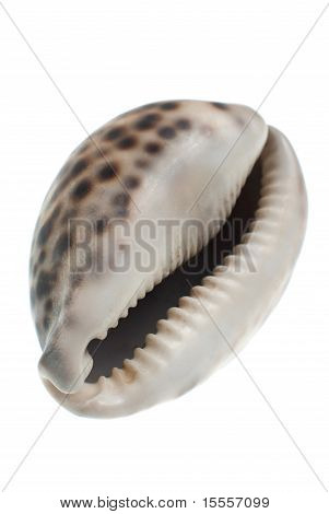 Seashell with dark spots isolate in white background. poster