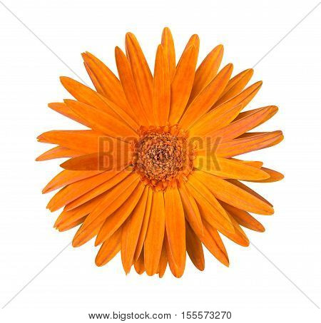 One Orange Chrysanthemum Flower Isolated Over White