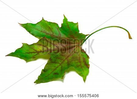 Multicolor maple-leaf isolated on white background .