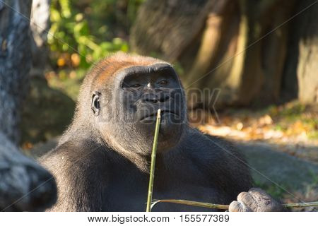 Photo of a gorilla whose facial epxression seems to indicate he is thinking things over