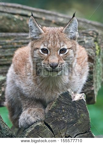 Juvenile Eurasian lynx (Lynx lynx) resting on a tree trunk with vegetation in the background