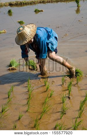 Mae Hong Son, Thailand - January 28, 2008 :  In the province of Mae Hong Son, north of Thailand close to Myanmar border. Burmese migrant woman working in the rice field.