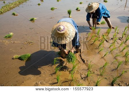 Mae Hong Son, Thailand - January 28, 2008 :  In the province of Mae Hong Son, north of Thailand close to Myanmar border. Burmese migrant women working in the rice field.