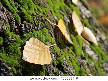 yellow birch leaves stuck on the bark covered with green moss in autumn