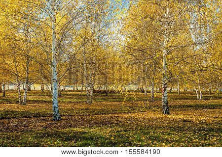 An orchard of aspen trees with yellow leaves in autumn near Plummer Idaho.