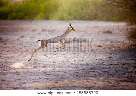 Jumping gazelle on Sir Bani Yas island UAE