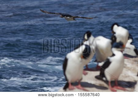 Imperial Shag (Phalacrocorax atriceps albiventer) flying past a group of birds on the coast of Carcass Island in the Falkland Islands