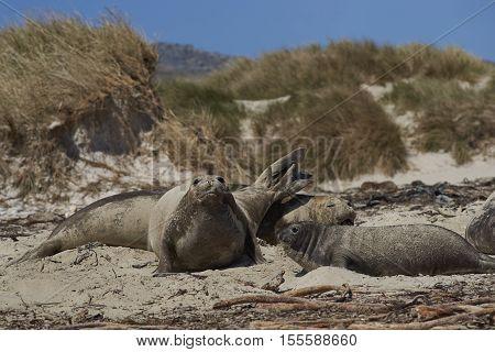 Group of female Southern Elephant Seal (Mirounga leonina) on the coast of Carcass Island in the Falkland Islands.