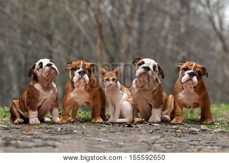 Cat and dogs. Many English bulldog puppies and red cat together outdoors in the woods