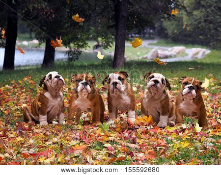 Dogs in autumn park. Lots of cute English bulldog puppies autumn fall autumn leaves