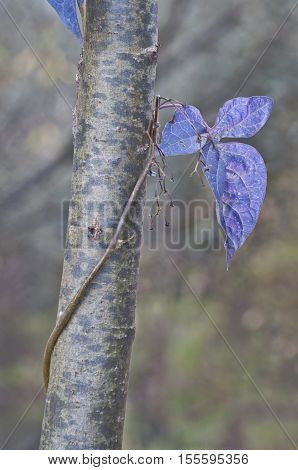 Single flower background with periwinkle vine leaves in nature
