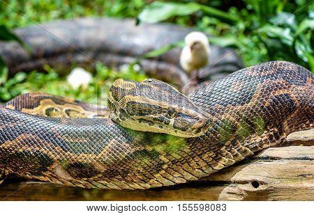 African Rock Python in Uganda close up
