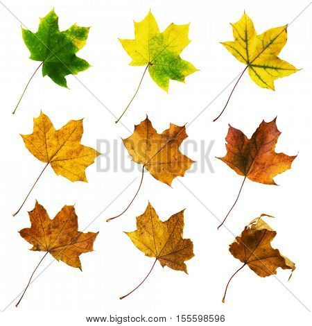 Set of colorful autumn leaves isolated on white -Clipping path included to replace background