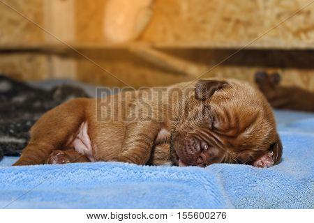 Dogue De Bordeaux - Puppies - 7 Days Old