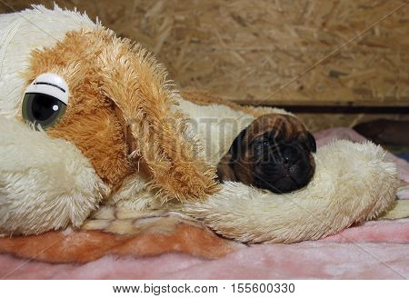 Dogue De Bordeaux - Puppies - 10 Days From Birth