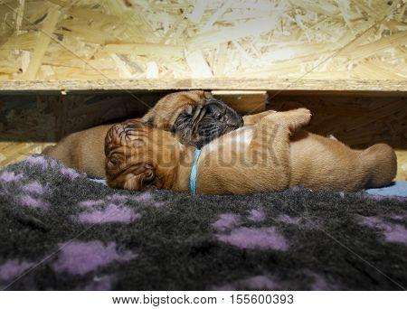 Dogue De Bordeaux - Puppies - Age 11 Days