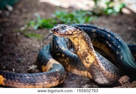 King Cobra snake close up in Uganda Africa