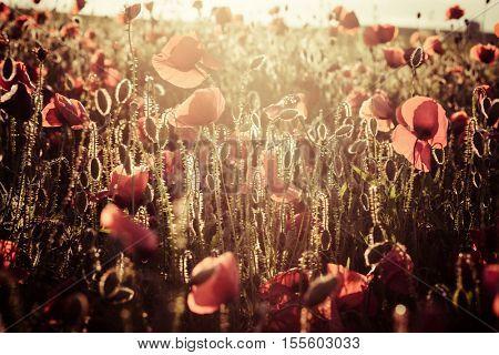 wild poppy field - Armistice day background