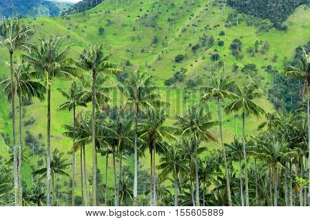 View of wax palm trees in Quindio department near Salento Colombia